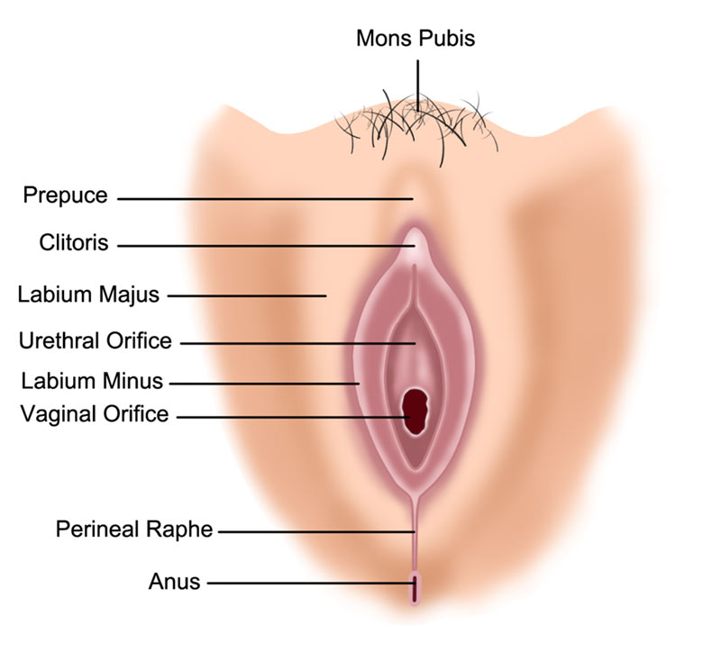 Cosmetic Gynecology Female Perineum Anatomy